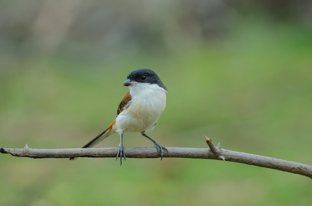 Burmese shrike (lanius collurioides) perching on a branch Premium Photo