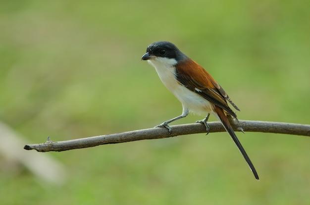 Burmese shrike perching on a branch Premium Photo