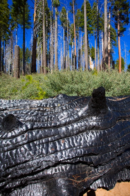 Burned charred redwood trunk in yosemite Premium Photo