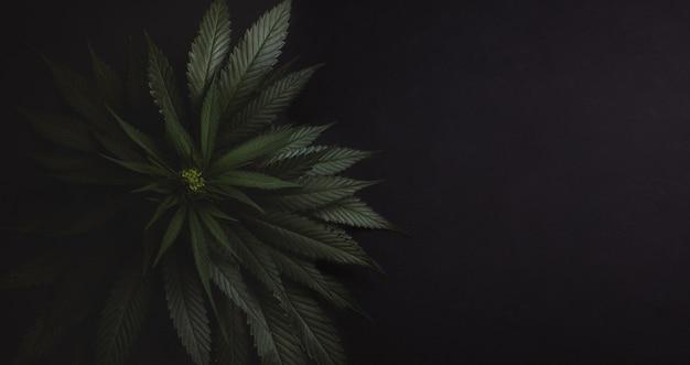 Bush of fresh marijuana Premium Photo