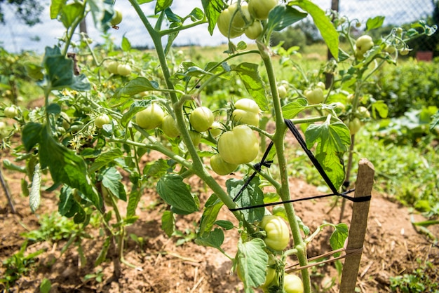 Bush of green tomatoes tied to a wooden stick, organic food grown on own field. life in the village, ukraine Premium Photo