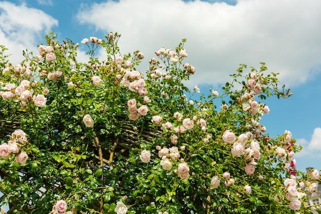 庭の美しいバラの茂み。 Premium写真