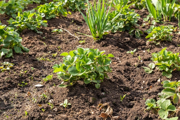 Bush of strawberries Premium Photo