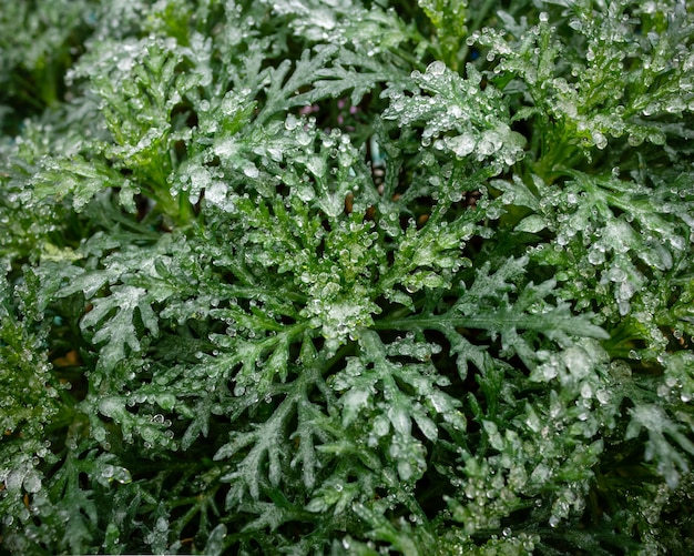 Bush with green leaves is covered with a layer of frozen ice and snow. winter natural texture, close-up Premium Photo