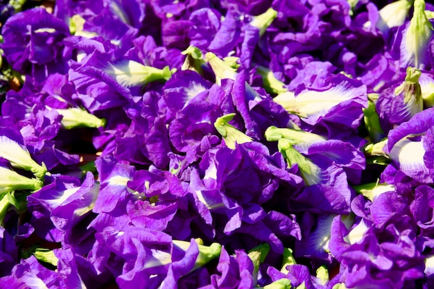 Butterfly pea flower dries in basket for mix with hot water to drinking Premium Photo