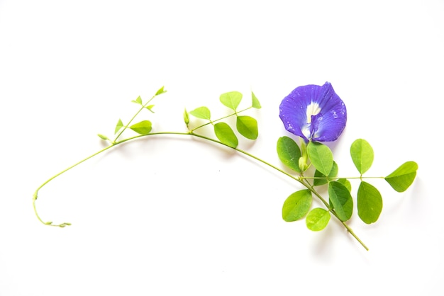 Butterfly pea flowers Premium Photo
