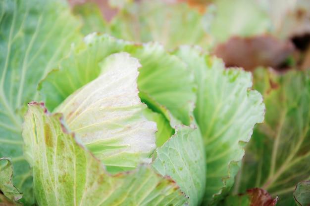 Cabbage on plantation. Premium Photo
