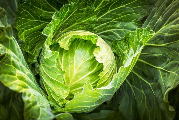 Cabbage Premium Photo