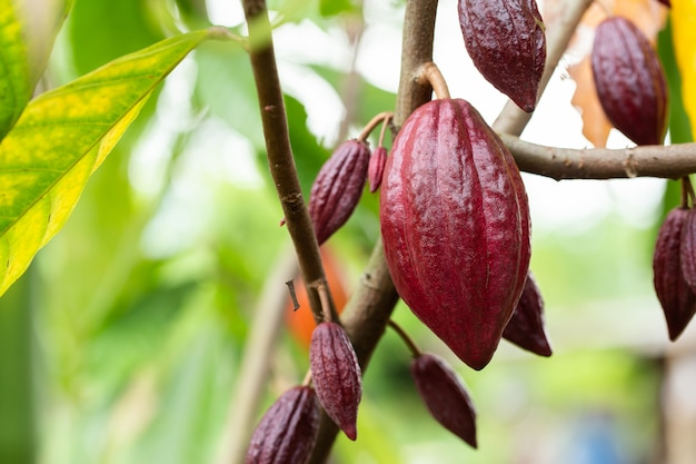 Cacao tree (theobroma cacao). organic cocoa fruit pods in nature. Premium Photo