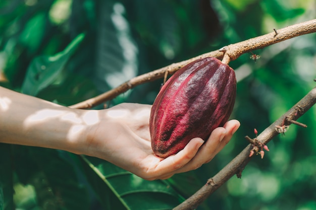 Cacao tree (theobroma cacao). organic cocoa fruit pods in nature. Premium Photo