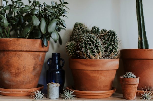 Cacti in brown clay pots Free Photo