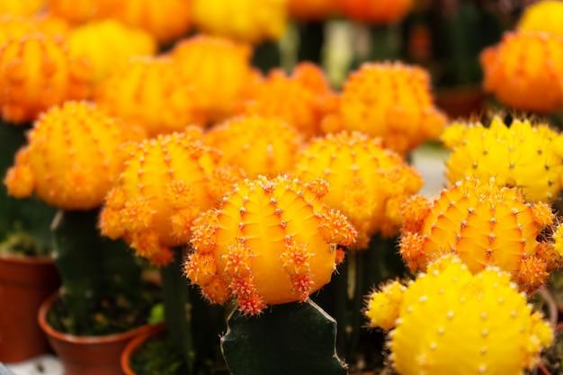 Кактусы разных форм и пород на кактусовой ферме. растения для декора дома и двора. Premium Фотографии