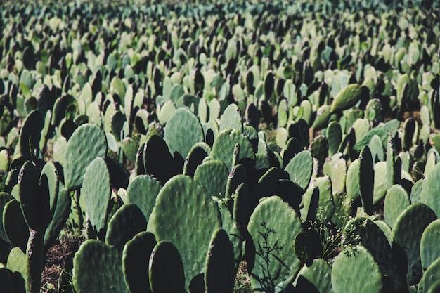 Cactus farm background Premium Photo