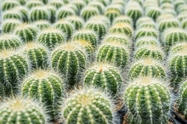 Cactus many variants in the pot for planting arranged in rows select and soft focus. Premium Photo
