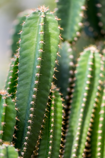 Cactus plants outdoors,copy space. Premium Photo