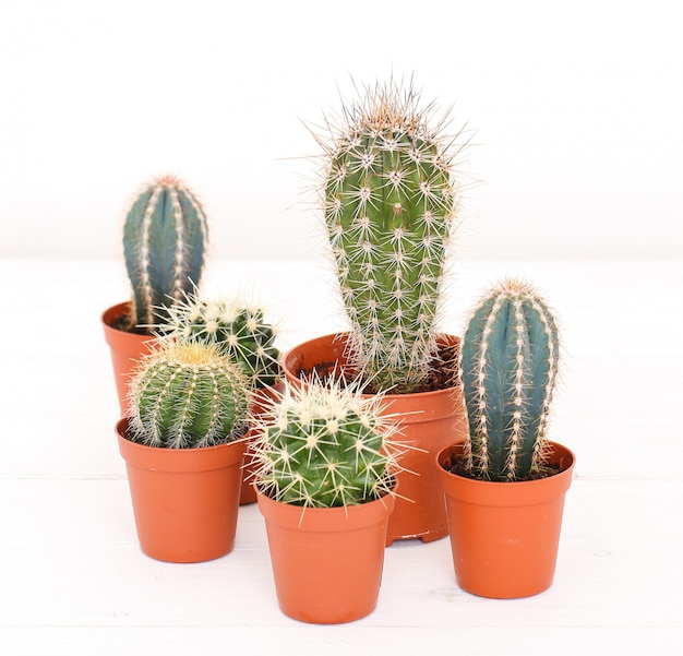Cactus in a pot Free Photo
