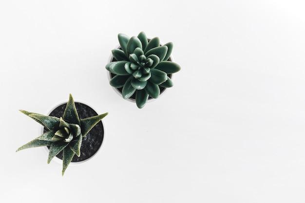 Cactus potted plant on white background Premium Photo