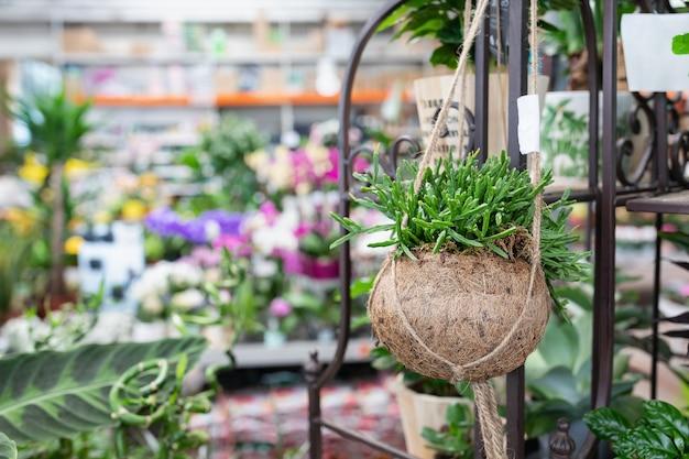 Кактус рипсалис в креативном подвесном натуральном цветочном горшке из скорлупы кокоса в магазине растений. Premium Фотографии