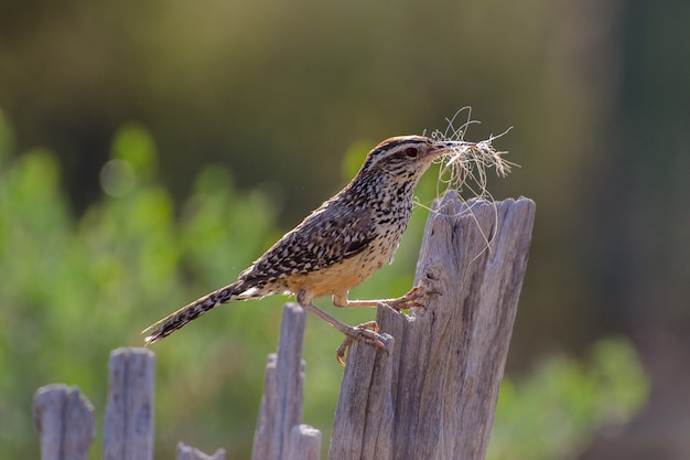 Cactus wren gathering nesting material and perched on a saguaro rib Premium Photo