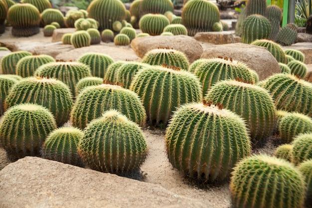 Cactus Premium Photo