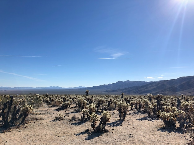Cactuses in the joshua tree national park, usa Free Photo