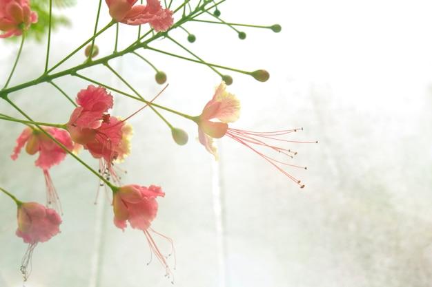 Caesalpinia pulcherrima庭では、セメントの壁にスペースを残します。 Premium写真
