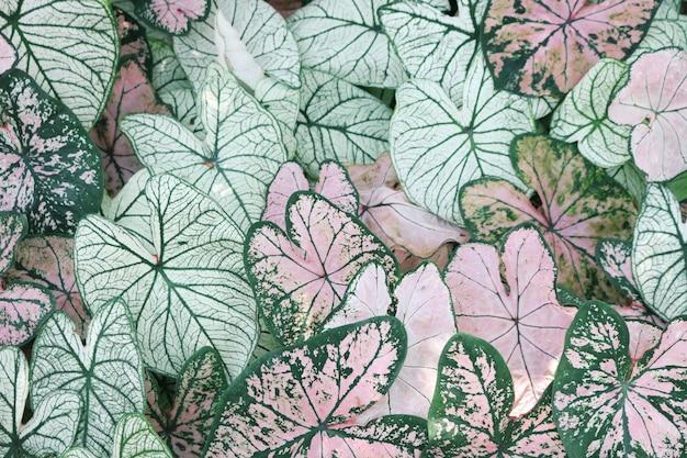 Крупный план розовых и зеленых растений caladium Бесплатные Фотографии