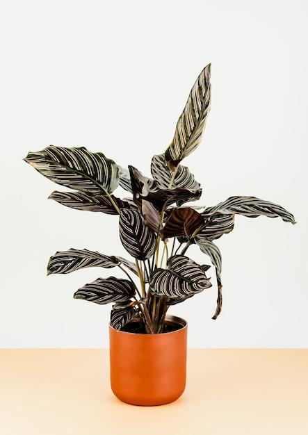 Calathea ornata sanderiana в оранжевом вазоне Бесплатные Фотографии