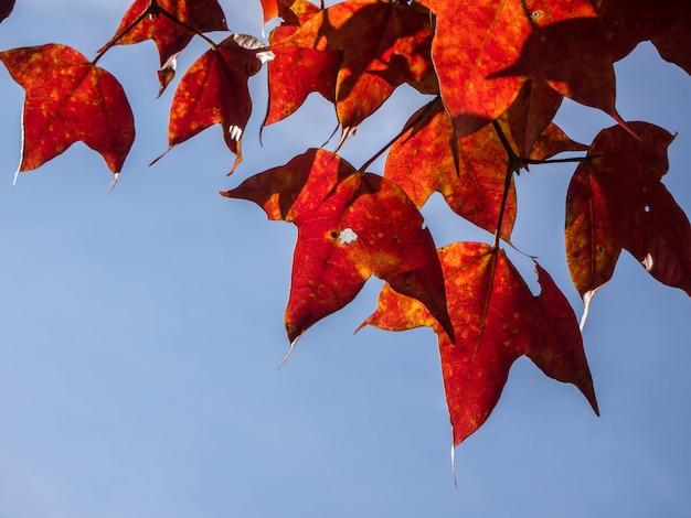 野生生物と植物フールアン、ルーイ、タイで赤いカエデの葉。秋のエイサーcalcaratumまたはアジアのカエデ種は雲南省とインドシナ北部で発見されたアジアのカエデ種です。 Premium写真