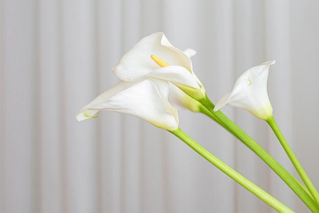 オランダカイウユリは、白い布の背景に花を植えます。 無料写真