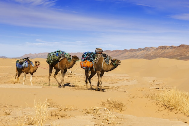 Camel caravan in the sahara desert Premium Photo
