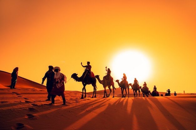 Camel caravan at sunset in the sahara desert. Premium Photo