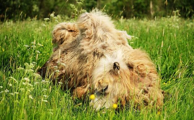 Верблюд жует пищу с открытым ртом, лежа изолированно на зеленой траве, летнее время Premium Фотографии