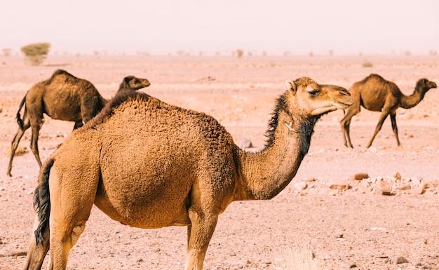 Camel in desert landscape in morocco Free Photo