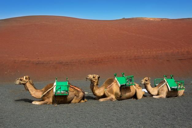 Camel in lanzarote in timanfaya fire mountains Premium Photo