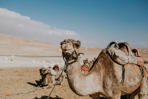 Camel on a leash for tourists in egypt Free Photo