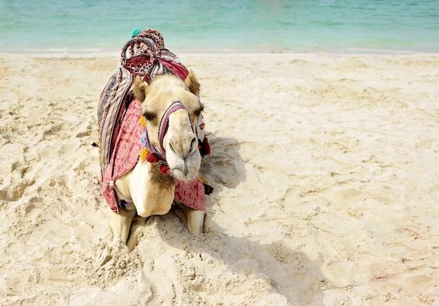 Camel lying on dubai beach Premium Photo
