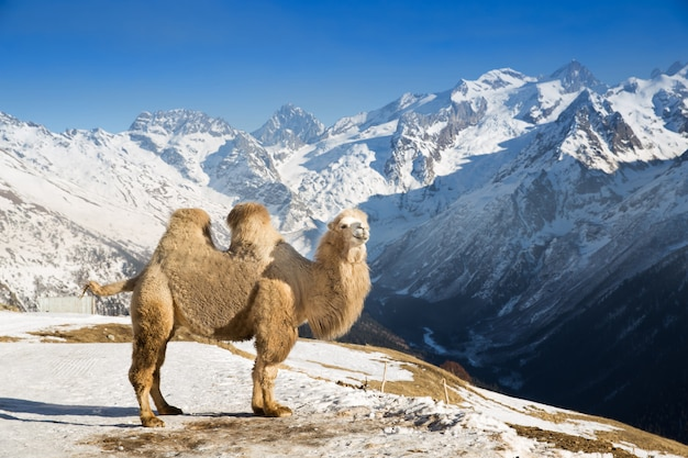 Camel in the mountains Premium Photo