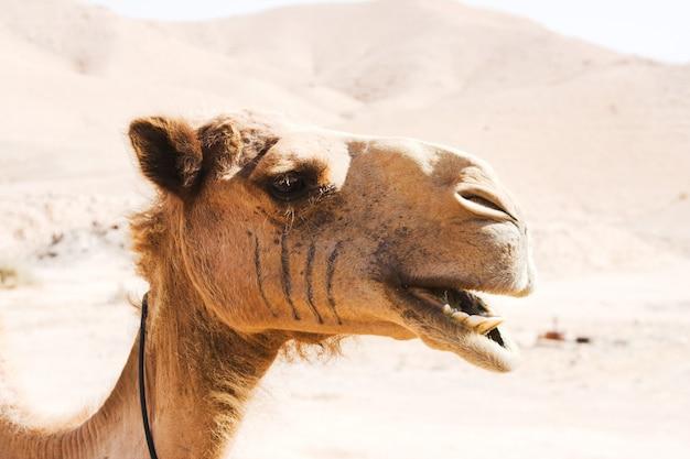 Camel outdoor, in dessert, animal and nature concept Premium Photo
