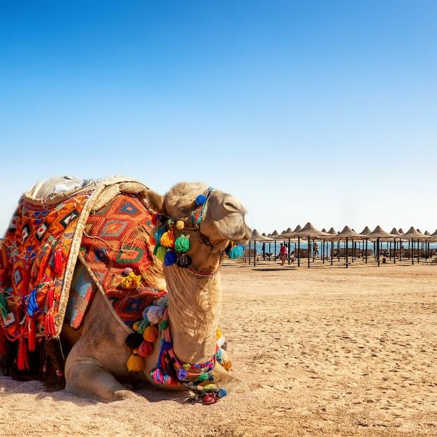 Camel resting on the beach of egypt. Premium Photo