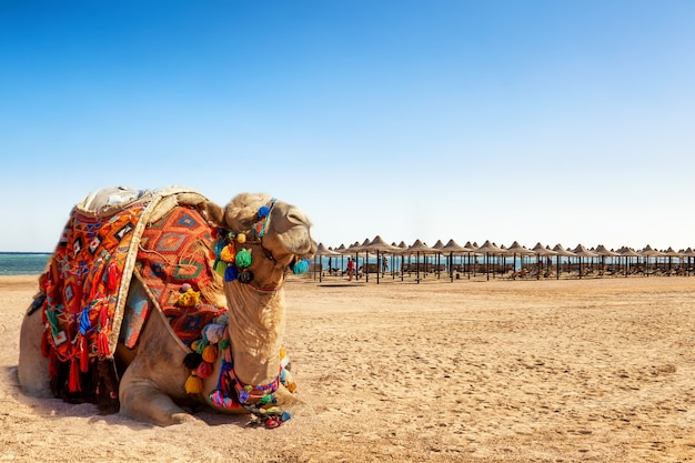 Camel resting on the beach of egypt. Premium Photo