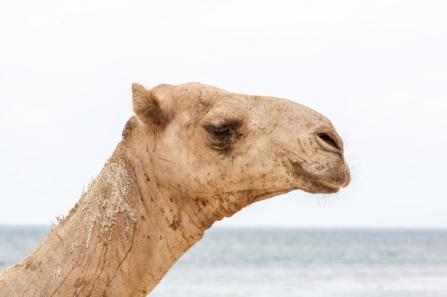Camel resting at the ocean shore Free Photo