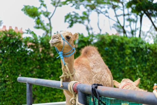 Camel's smiling face Premium Photo