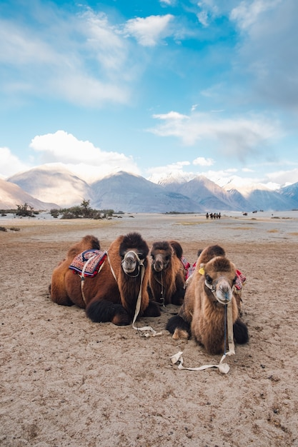 Camel waiting for tourist in leh ladakh, india Free Photo