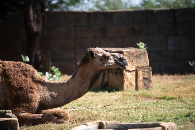 Camels resting in the desert Premium Photo