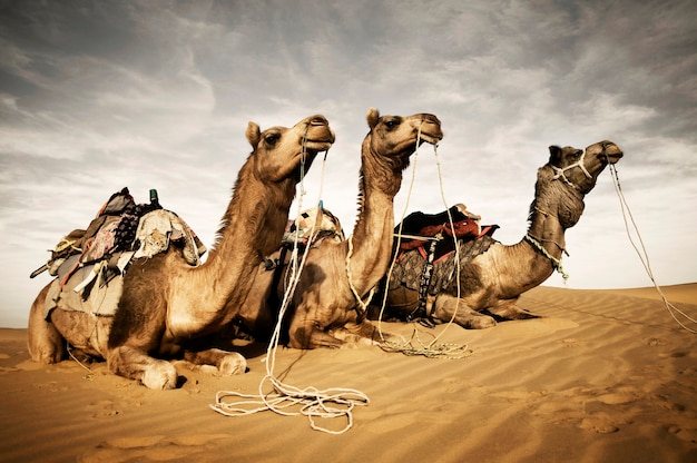 Camels resting in the thar desert, rajasthan, india Premium Photo