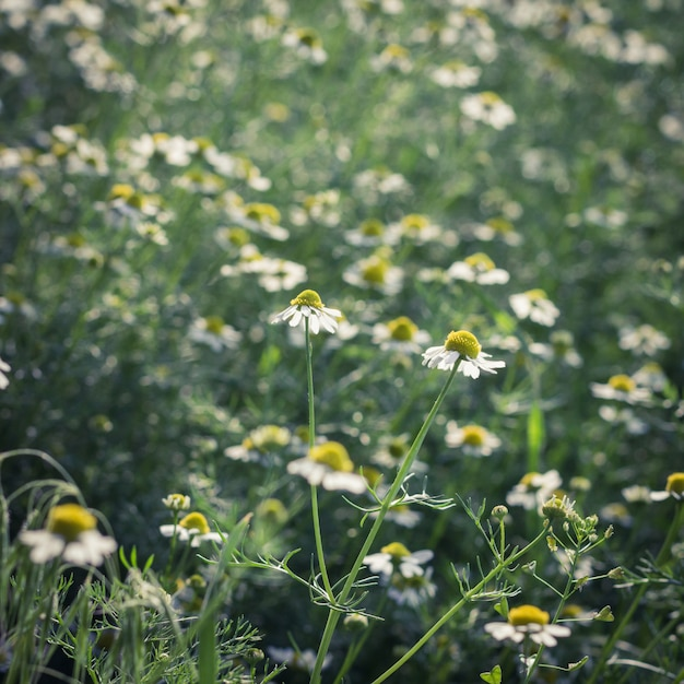 Camomiles on a meadow Premium Photo