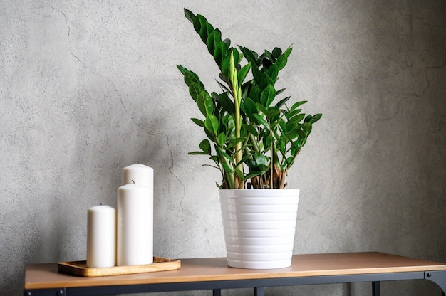 Candles and zamioculcas plant on wood table and grey cement wall Premium Photo