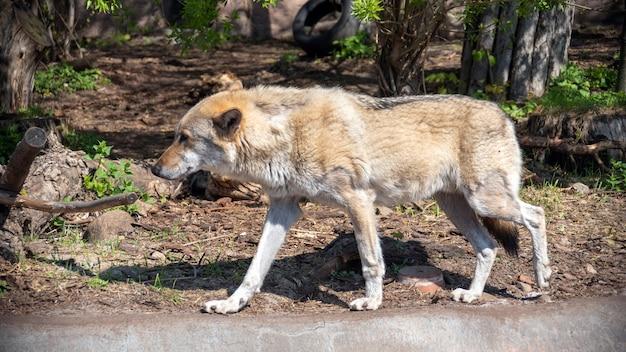 Серый волк (canis lupus) портрет - пленное животное. волк в зоопарке летом. Premium Фотографии