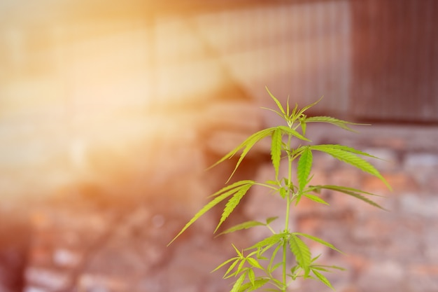 cannabis background 2919 476 - What's the Best Time of the Day to Take CBD Oil? (Answered - 2019)